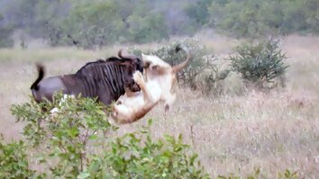 Two Lions vs. Bucking Wildebeest—Who Will Win?