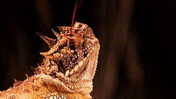 World's Weirdest: Blood-Squirting Lizard