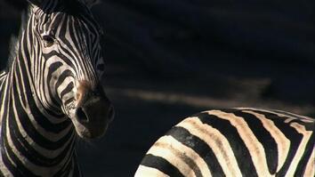 Zebra's Deadly Kick