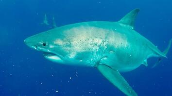 20-foot great white shark caught on video is one of biggest known