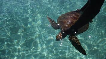Saving Sea Turtles in the Solomon Islands