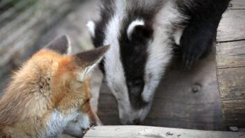 Billie the Badger and Pixie the Fox