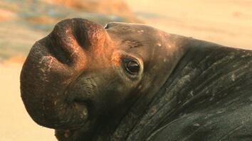 Elephant Seals' Extraordinary Comeback