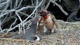 Homewrecking Penguin