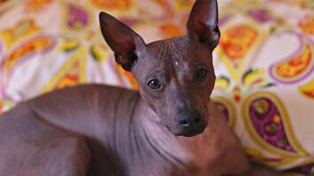 This Ugly-Cute Hairless Dog Has a Surprising History