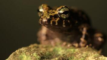 Tiny Frogs Contain Big Evolutionary Surprise