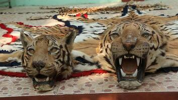 Battling India's Illegal Tiger Trade
