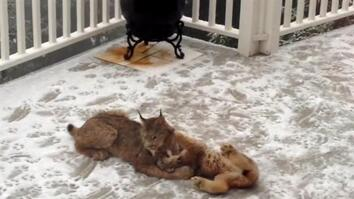 New Video Reveals Lynx Mom and Kittens Frolicking in Snow