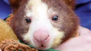 Elusive Tree Kangaroo Helped