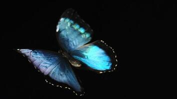 See a Brilliant Blue Butterfly Take Flight for the First Time