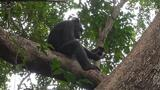 First-ever video shows chimpanzees hit tortoises to eat them