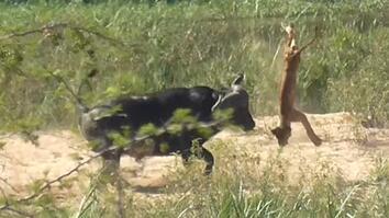 Watch a Buffalo Toss a Lion Cub Into the Air