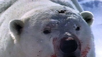 Polar Bear Attacks Ring Seal