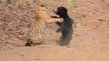 Mother Bear Fights Tiger to Save Her Cub in Dramatic Video