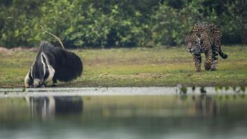 Jaguar and Giant Anteater Standoff Ends With a Twist