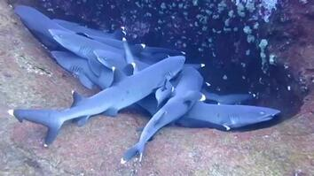 Pile of 'Sleeping' Sharks Caught on Camera
