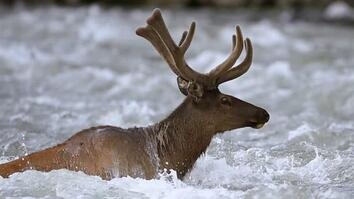 Take an Epic Journey With the Elk of Yellowstone