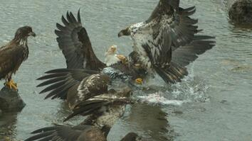 Bald Eagles' Food Fight Captured In Slow-Motion