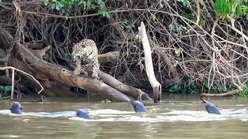 Jaguars vs. Giant Otters: Who Will Win?