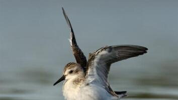 Gulf Spill Still Threatens Millions of Migrating Birds