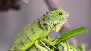 Why This Invasive Lizard Is Bad for Puerto Rico