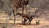 Watch the Awkward First Steps of a Newborn Giraffe
