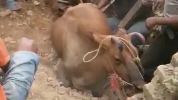 Cow Rescued From Rubble Following Nepal Earthquake