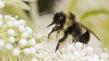 Saving Bumblebees Became This Photographer's Mission