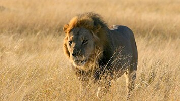 Cecil the Lion's Son Also Killed in Trophy Hunt