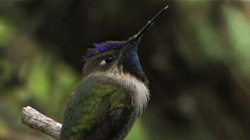 Rare Hummingbird Courtship