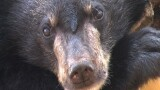 "Orphaned ""Moon Bear"" Cubs ""Mothered"" by Scientists"