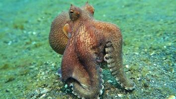 Why Is This Coconut Octopus Walking So Strangely?