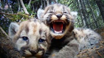 Cameras Reveal the Secret Lives of a Mountain Lion Family