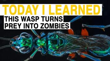 TIL: This Wasp Turns Prey Into Zombies