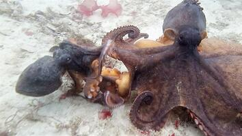 Epic Octopus Fight Caught on Video