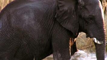 Rare Elephant Pool Play Seen