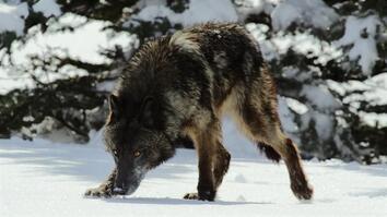 Wild Yellowstone: Top Five Ways To Survive