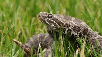 A Mysterious Fungus Is Killing Rattlesnakes