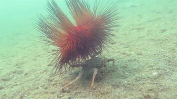 Watch: Carrier Crab Uses Spiny Urchin As Shield