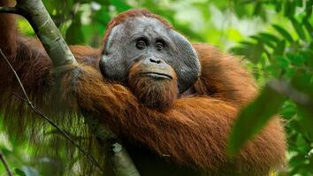 A Rare Look at the Secret Life of Orangutans