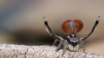 The Amazing Peacock Spider