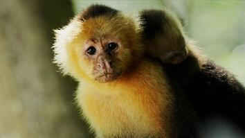 Mother capuchin competes for rare food supply