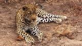 Can Fake Furs Help Protect Leopards?