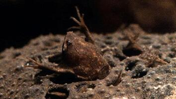 World's Weirdest: Baby Toads Born from Mom's Back