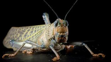 This Giant Grasshopper Species Is One of the Largest in the World