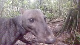 See an Extremely Rare Jungle Dog