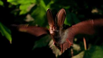 "World's Weirdest: Bat Hunts in ""Stealth Mode"""