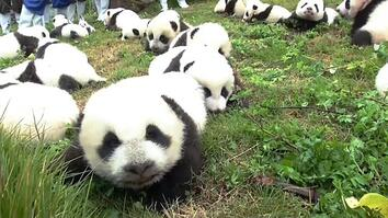 Record: 42 Pandas Born in Breeding Program This Year
