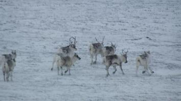 Drone Video Captures Caribou From the Air