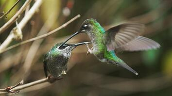 A stunning look at how hummingbirds fight for survival